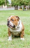 English bulldog in backyard Royalty Free Stock Photo