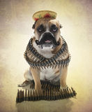 English Bulldog Bandito Portrait. English Bulldog dressed up as a Bandito for a portrait with a hat, mustache and bullets royalty free stock photos
