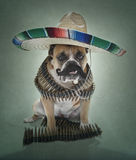 English Bulldog Bandito Portrait large sombrero. English Bulldog dressed up as a Bandito for a portrait with a large sombrero, mustache and bullets stock photography