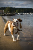 English Bulldog on the Beach Royalty Free Stock Photos