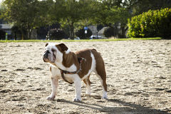 English Bulldog on the Beach Stock Photo