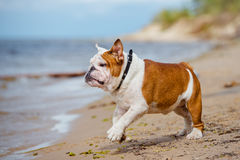 English bulldog on the beach Royalty Free Stock Photography