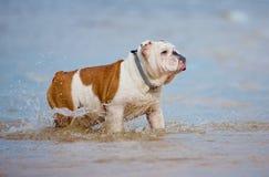 English bulldog on the beach Stock Photography