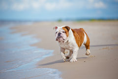 English bulldog on the beach Royalty Free Stock Images
