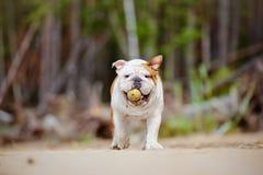 English bulldog on the beach Royalty Free Stock Photo