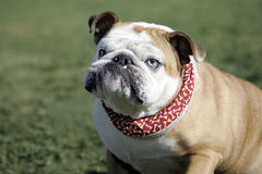 English Bulldog with big underbite. An English Bulldog portrait with different color eyes and a big underbite stock photo