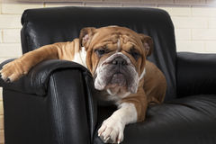 English Bulldog in a black leather chair Stock Photo