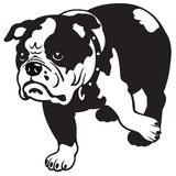 English bulldog black white. Dog, english bulldog breed, black and white isolated picture , front view image