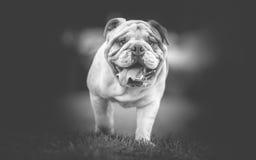 English Bulldog Black and White. Photo Stock Image