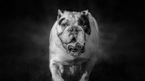 English bulldog black and white Stock Image