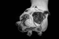 English Bulldog in black and white Stock Photo