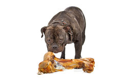 English bulldog with bone Stock Photos