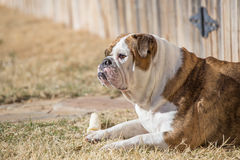 English Bulldog with bone Royalty Free Stock Image
