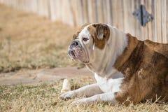 English Bulldog with bone Royalty Free Stock Image