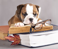 English Bulldog  and book Stock Photos