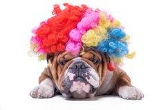 English bulldog bored and wearing clown wig. Funny and bored English bulldog with clown wig, on white background Stock Photos
