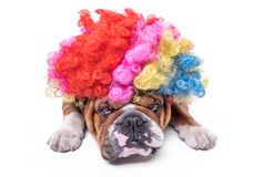 English bulldog bored and wearing clown wig. Selective focus and isolated on white background Stock Images