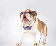 English Bulldog in the bow tie. Stock Photo