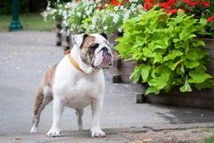 English Bulldog or British Bulldog stock photos