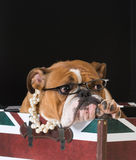 English bulldog. In a british flag crate Stock Images