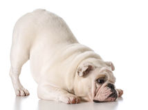 English bulldog Stock Photos
