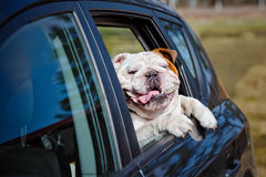 English bulldog in a car window royalty free stock photography