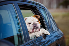 English bulldog in a car window Stock Photo