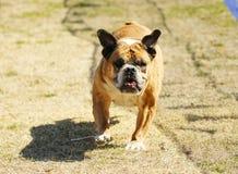 English Bulldog chasing a lure at the park Royalty Free Stock Image