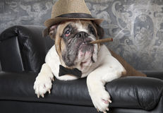 English Bulldog with a cigar Stock Image