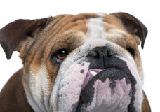 English Bulldog close-up, 18 months old, Royalty Free Stock Image