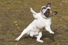 English Bulldog Close-up. English Bulldog dancing dog, humor stands on its hind legs, spreads out its front paws, looks up. Against the background of a green Stock Photo