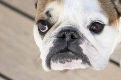 English bulldog close up Royalty Free Stock Photography