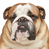 English bulldog. Close-up portrait Stock Photo
