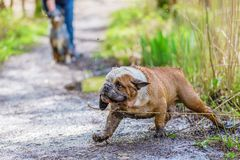 English Bulldog comes dirty out of the water Stock Photos