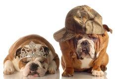 English bulldog couple Royalty Free Stock Photography
