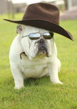 English Bulldog With Cowboy hat Stock Photos