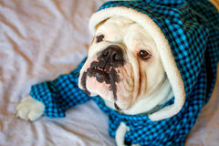 English Bulldog. Cute male english bulldog in a blue fluffy shirt lying on the bed Stock Photography