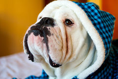 English Bulldog. Cute male english bulldog in a blue fluffy shirt lying on the bed Stock Images