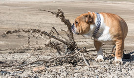 English bulldog in the dessert Royalty Free Stock Image