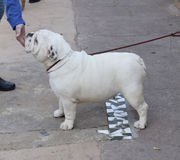 English bulldog. Die englische Bulldogge. English bulldog white side view Stock Photos