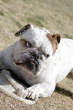 English Bulldog and disk. A English Bulldog and his disk playing at the park royalty free stock photos