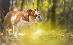 English Bulldog Dog Autumn Portrait Stock Image