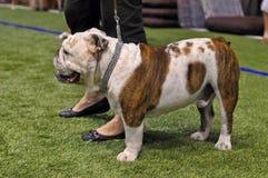 English bulldog dog Stock Images