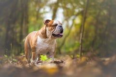 English Bulldog Dog Royalty Free Stock Photography