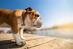 English bulldog dog looking at distance Royalty Free Stock Photography
