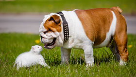 English bulldog dog meets kitten Royalty Free Stock Photos