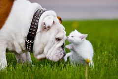 English bulldog dog meets kitten Royalty Free Stock Photo