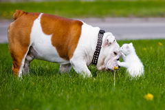 English bulldog dog meets kitten Stock Image
