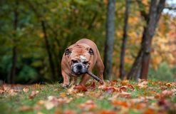 English Bulldog Dog Playing on the Grass with Branch Tree in Mouth royalty free stock images