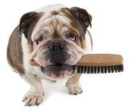 English bulldog dog sit with a brush in his mouth Royalty Free Stock Images